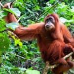 Orangutans in Sumatra
