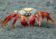 sally-lightfoot-crab-galapagos-islands_2