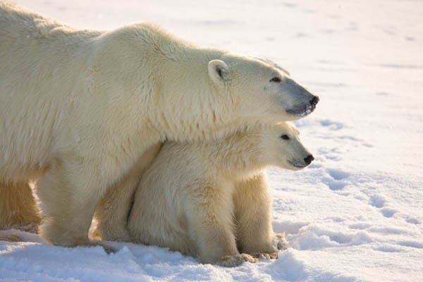GREAT ICE BEAR  CHURCHILL WILD Polar Bears Arctic Wildlife Michael Poliza GIB 9