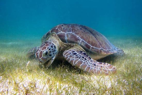 green sea turtle2