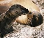galapagos_sealion-kiss_2