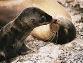galapagos_sealion-kiss_2