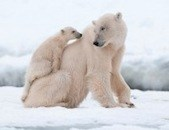 arctic_polar-bear
