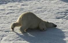 polar-bear-12