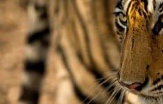 Bengal Tiger(Panthera tigris tigris)stalkingIndia