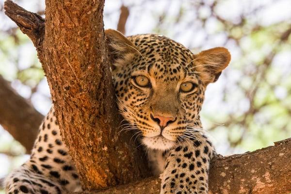 Selous Leopard
