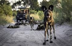 botswana-abu-camp-wilderness-safaris-wildlife (1)
