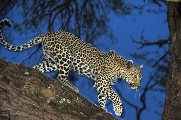 leopard-botswana-banoka-night-drive-mike-myers