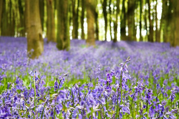 3--UK-Bluebells