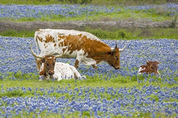 6--Texas-Bluebonnets
