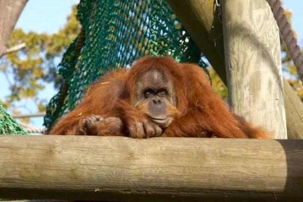 Sumatran orangutan, Durrell Wildlife Conservation Trust