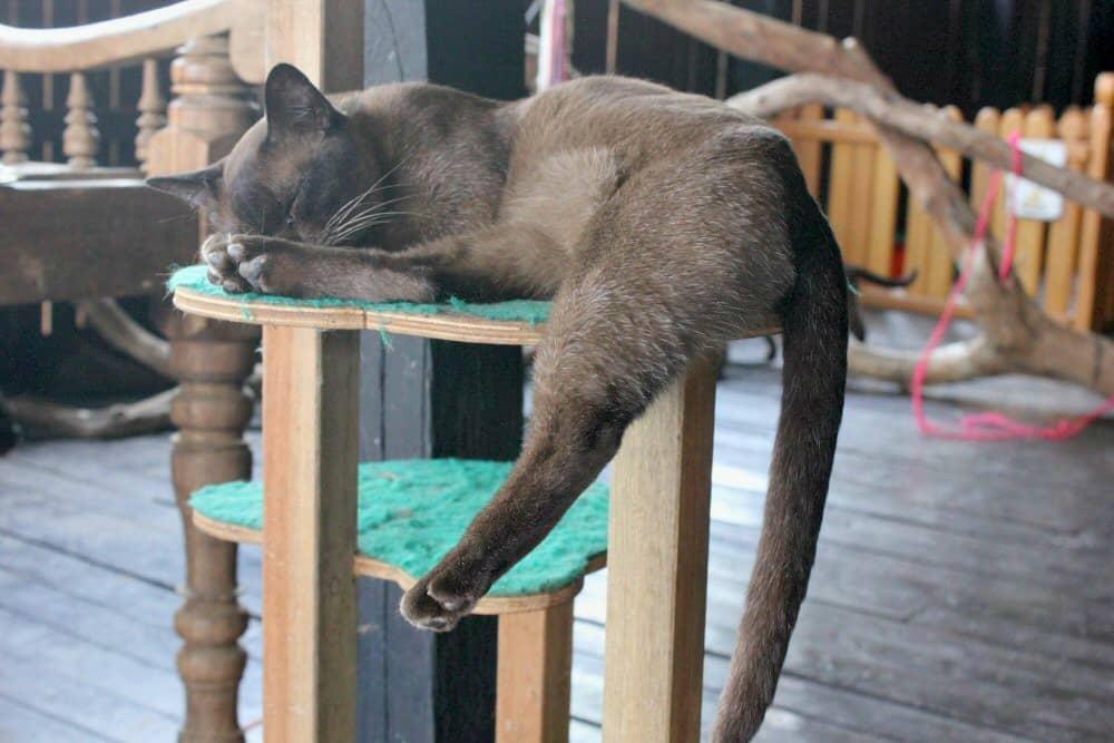 Burmese cats COPYRIGHT Cathy Winston