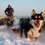 Family husky sledding in Lapland