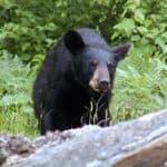 See Black Bear
