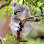 Baby Koala 'up a gum tree' (Eucalyptus) New South Wales, Australia
