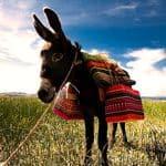 Inca Donkey