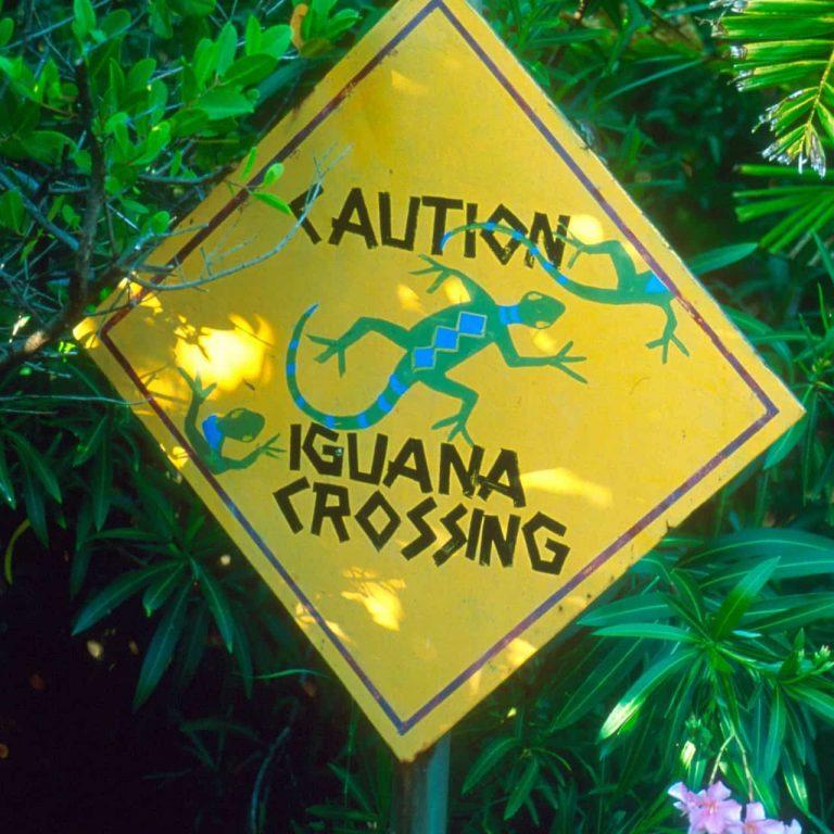Iguana crossing road sign.