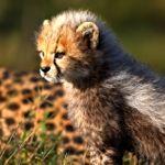 Baby cheetah in the Serengeti