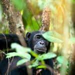 Chimp in the Serengeti
