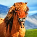 Icelandic horse - with character!