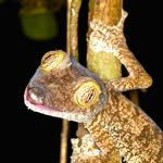 Leaf Tailed Gecko - photo by Richard Denyer