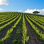 Californian vineyards