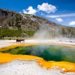 yellowstone national park - the emerald pool with bison roaming in background
