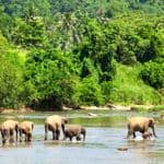 Elephants at Pinnawela