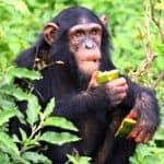 Chimp in Uganda