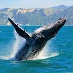Humpback Whale Whalewatching, Kaikoura