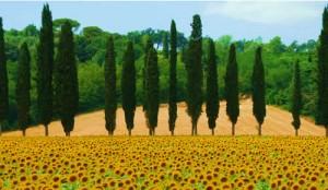 sunflowers le marche